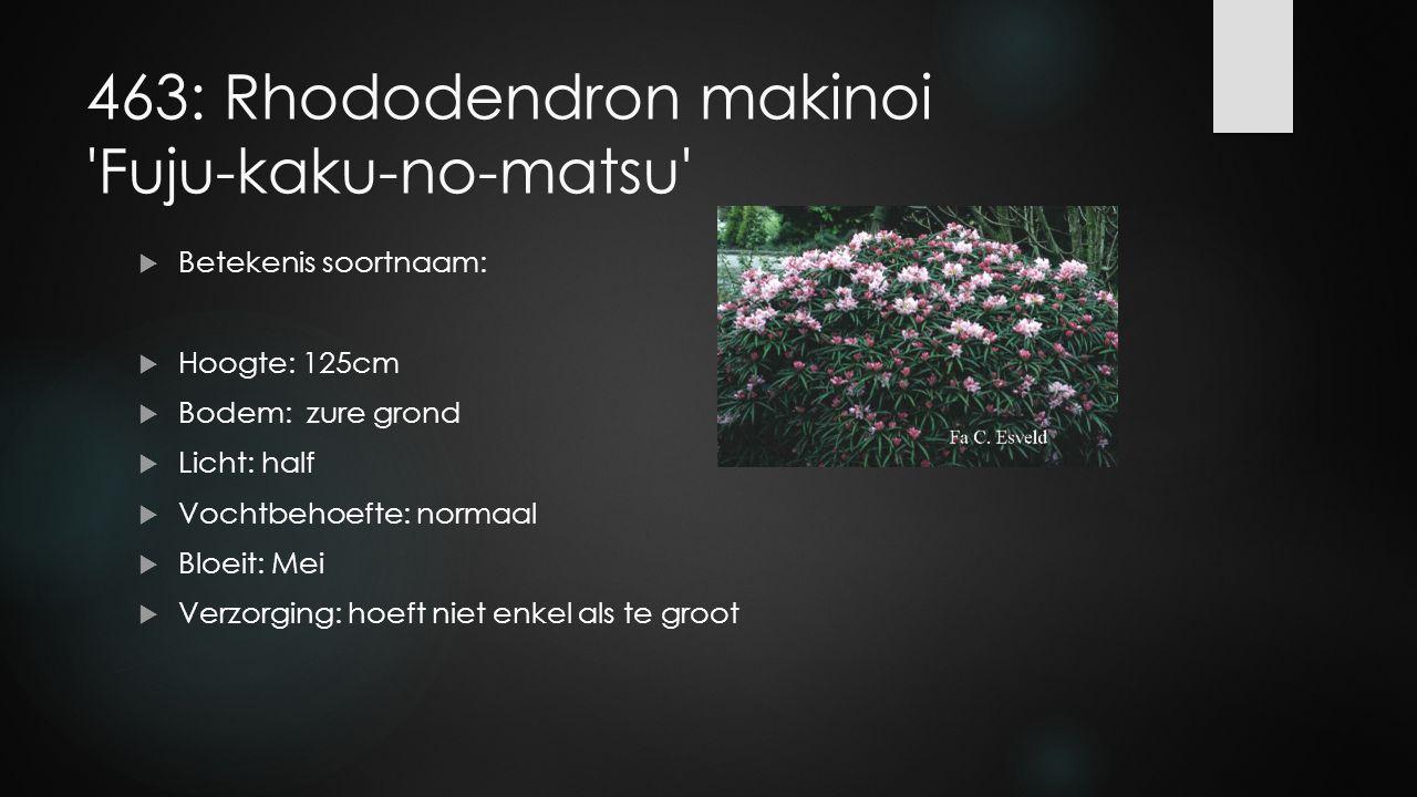 463: Rhododendron makinoi 'Fuju-kaku-no-matsu'  Betekenis soortnaam:  Hoogte: 125cm  Bodem: zure grond  Licht: half  Vochtbehoefte: normaal  Blo