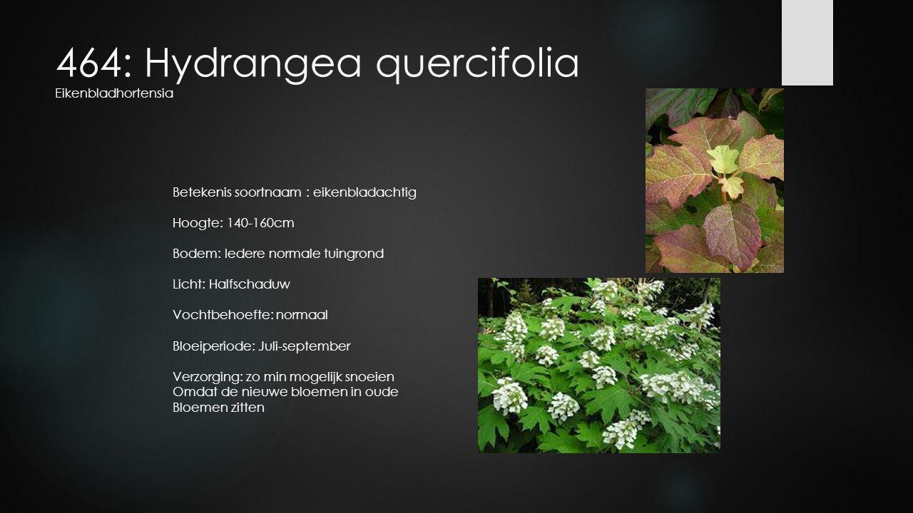 464: Hydrangea quercifolia Eikenbladhortensia Betekenis soortnaam : eikenbladachtig Hoogte: 140-160cm Bodem: Iedere normale tuingrond Licht: Halfschad
