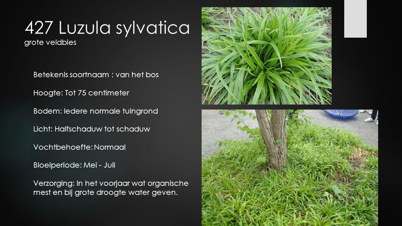 427 Luzula sylvatica grote veldbies Betekenis soortnaam : van het bos Hoogte: Tot 75 centimeter Bodem: Iedere normale tuingrond Licht: Halfschaduw tot