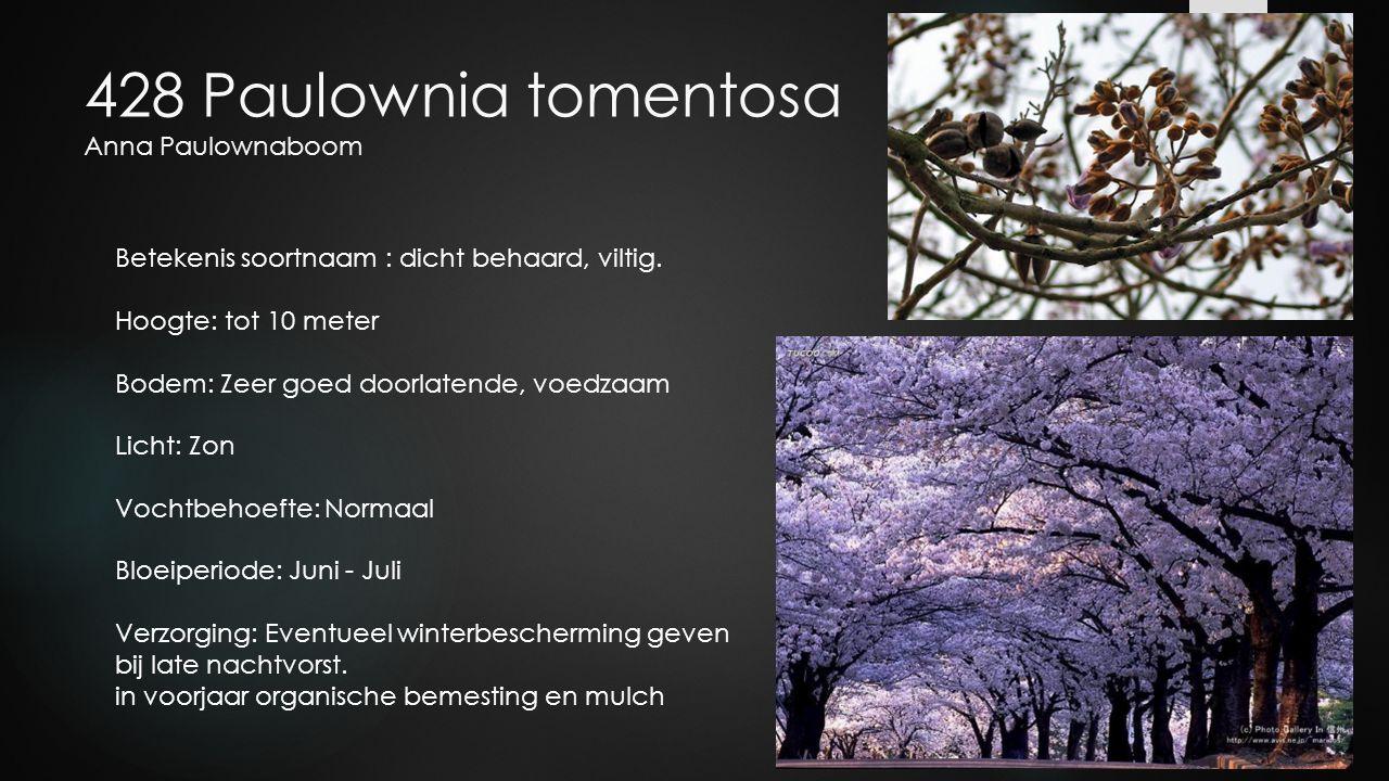 428 Paulownia tomentosa Anna Paulownaboom Betekenis soortnaam : dicht behaard, viltig. Hoogte: tot 10 meter Bodem: Zeer goed doorlatende, voedzaam Lic