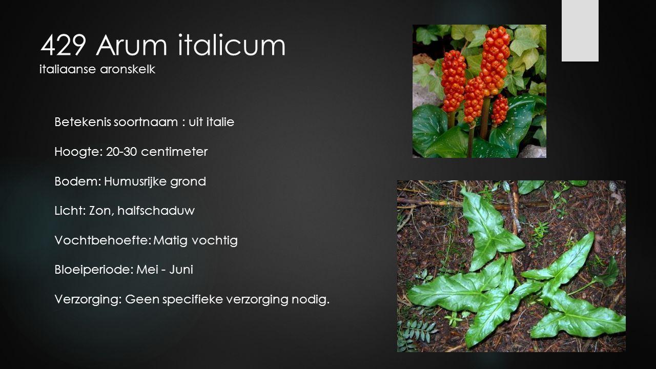 429 Arum italicum italiaanse aronskelk Betekenis soortnaam : uit italie Hoogte: 20-30 centimeter Bodem: Humusrijke grond Licht: Zon, halfschaduw Vocht
