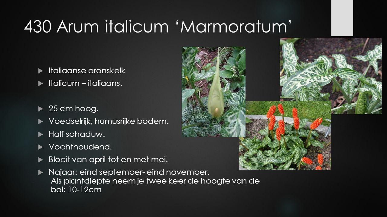 430 Arum italicum 'Marmoratum'  Italiaanse aronskelk  Italicum – italiaans.  25 cm hoog.  Voedselrijk, humusrijke bodem.  Half schaduw.  Vochtho