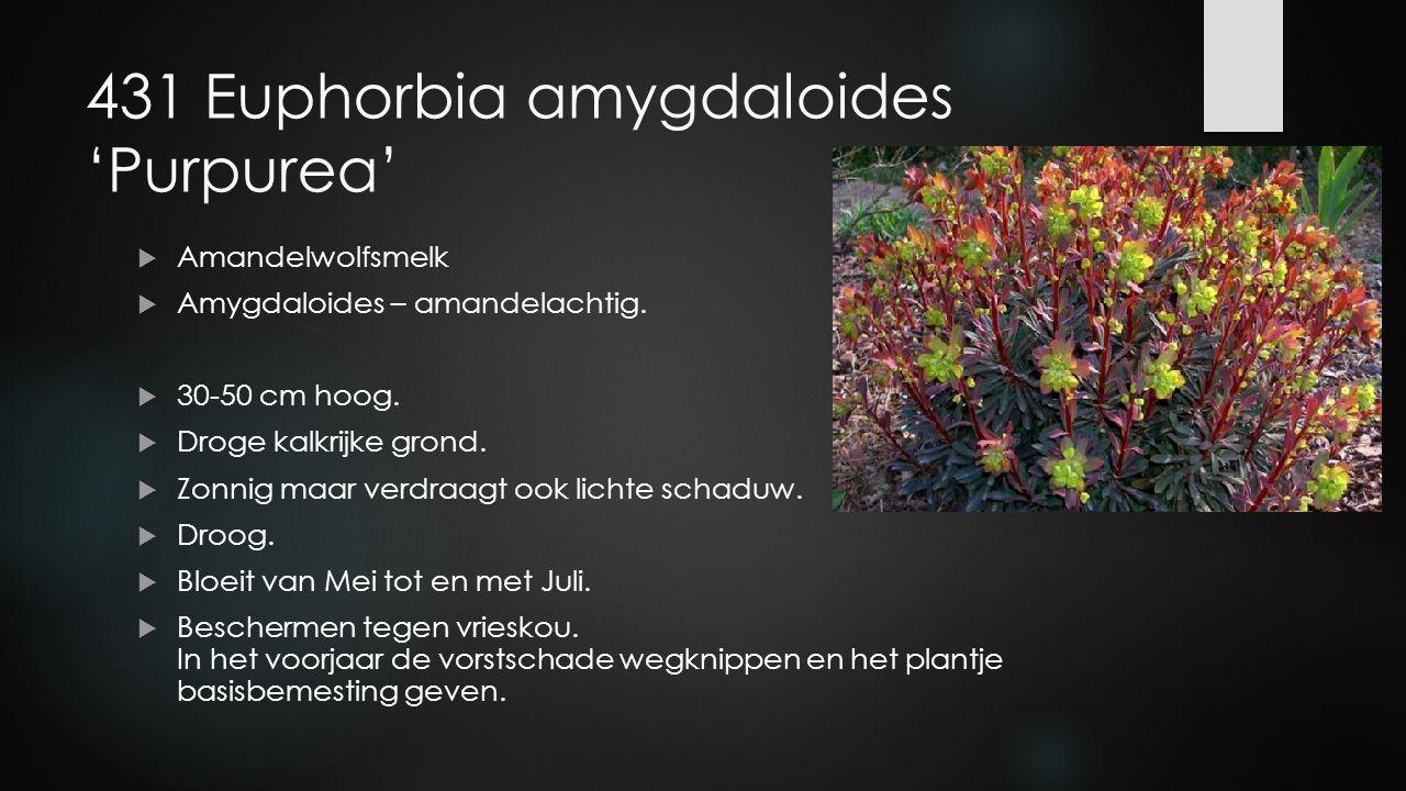 431 Euphorbia amygdaloides 'Purpurea'  Amandelwolfsmelk  Amygdaloides – amandelachtig.  30-50 cm hoog.  Droge kalkrijke grond.  Zonnig maar verdr