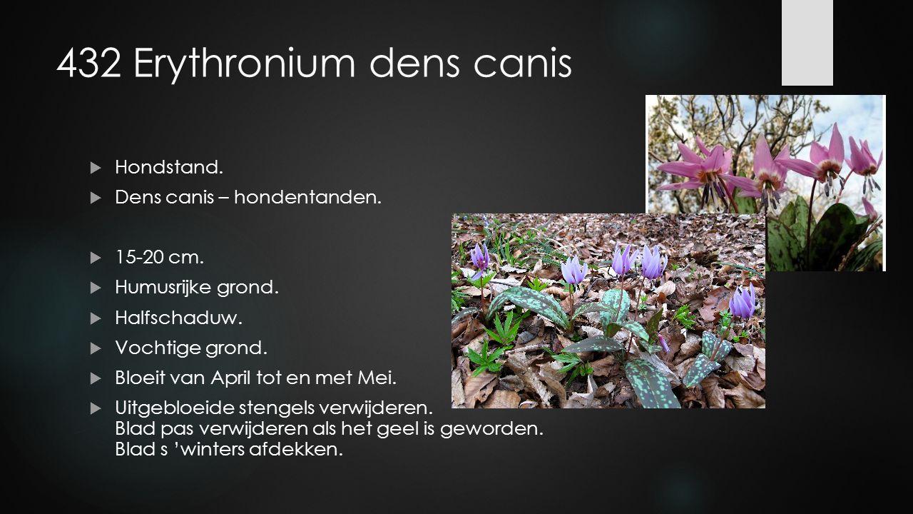 432 Erythronium dens canis  Hondstand.  Dens canis – hondentanden.  15-20 cm.  Humusrijke grond.  Halfschaduw.  Vochtige grond.  Bloeit van Apr