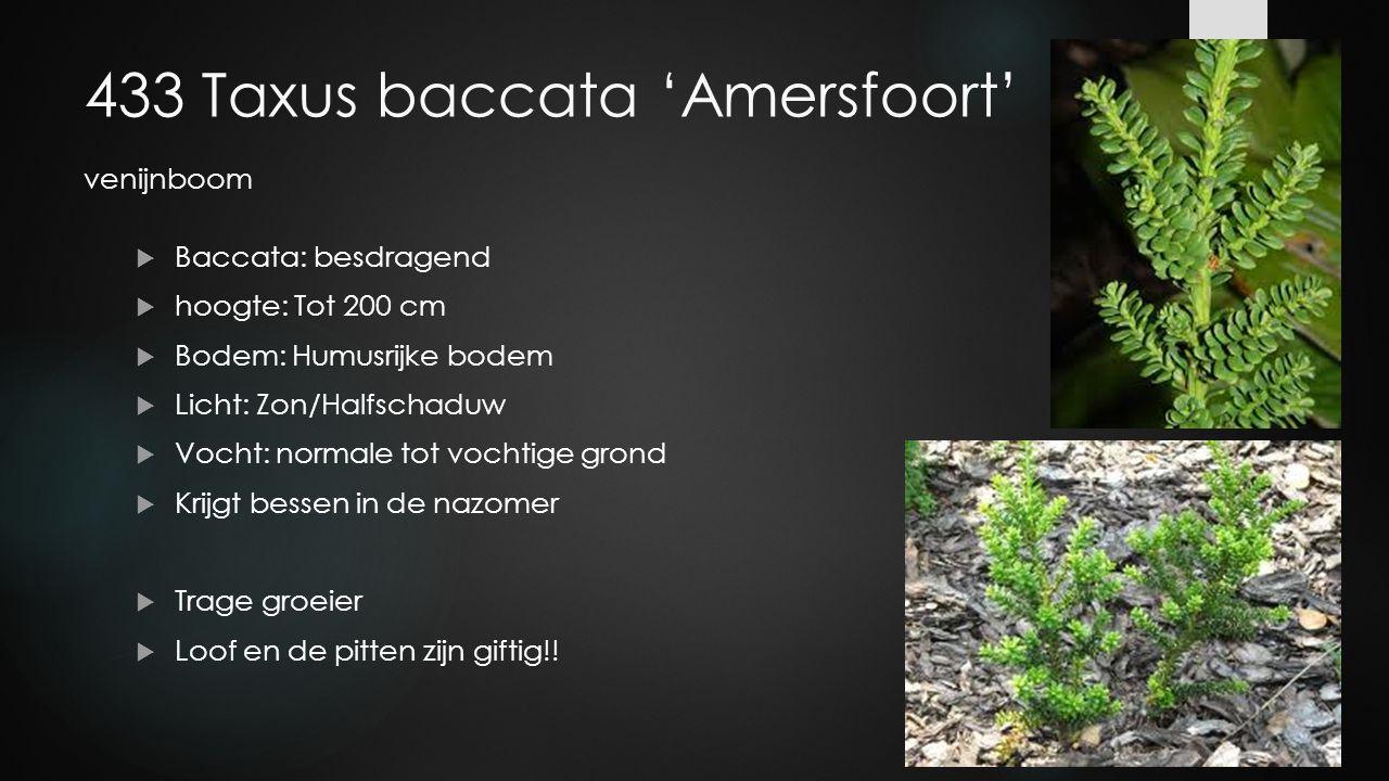 433 Taxus baccata 'Amersfoort' venijnboom  Baccata: besdragend  hoogte: Tot 200 cm  Bodem: Humusrijke bodem  Licht: Zon/Halfschaduw  Vocht: norma