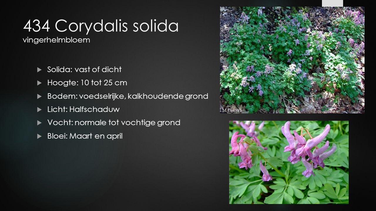 434 Corydalis solida vingerhelmbloem  Solida: vast of dicht  Hoogte: 10 tot 25 cm  Bodem: voedselrijke, kalkhoudende grond  Licht: Halfschaduw  V