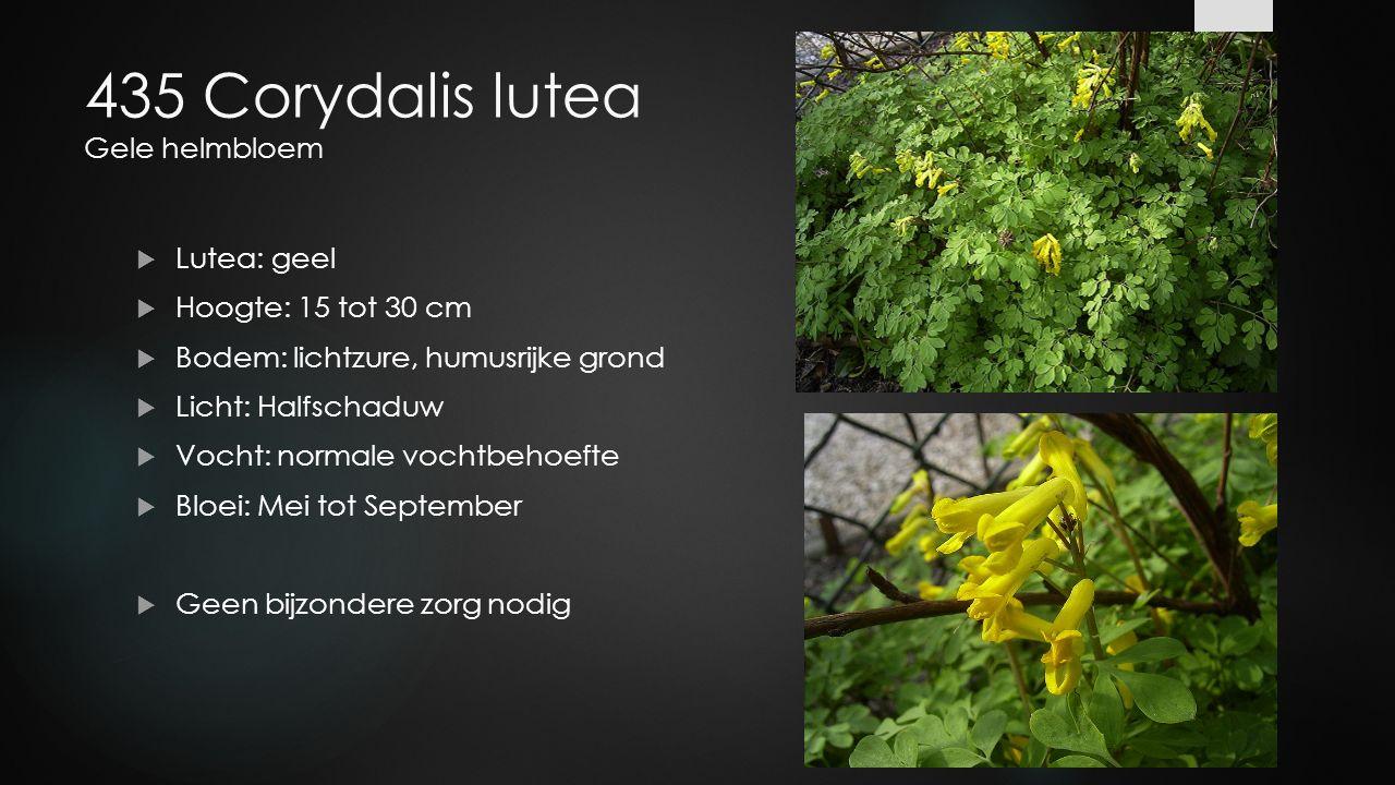 435 Corydalis lutea Gele helmbloem  Lutea: geel  Hoogte: 15 tot 30 cm  Bodem: lichtzure, humusrijke grond  Licht: Halfschaduw  Vocht: normale voc