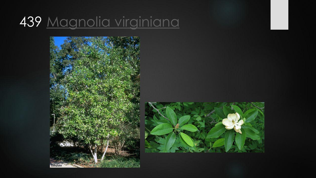 439 Magnolia virginianaMagnolia virginiana