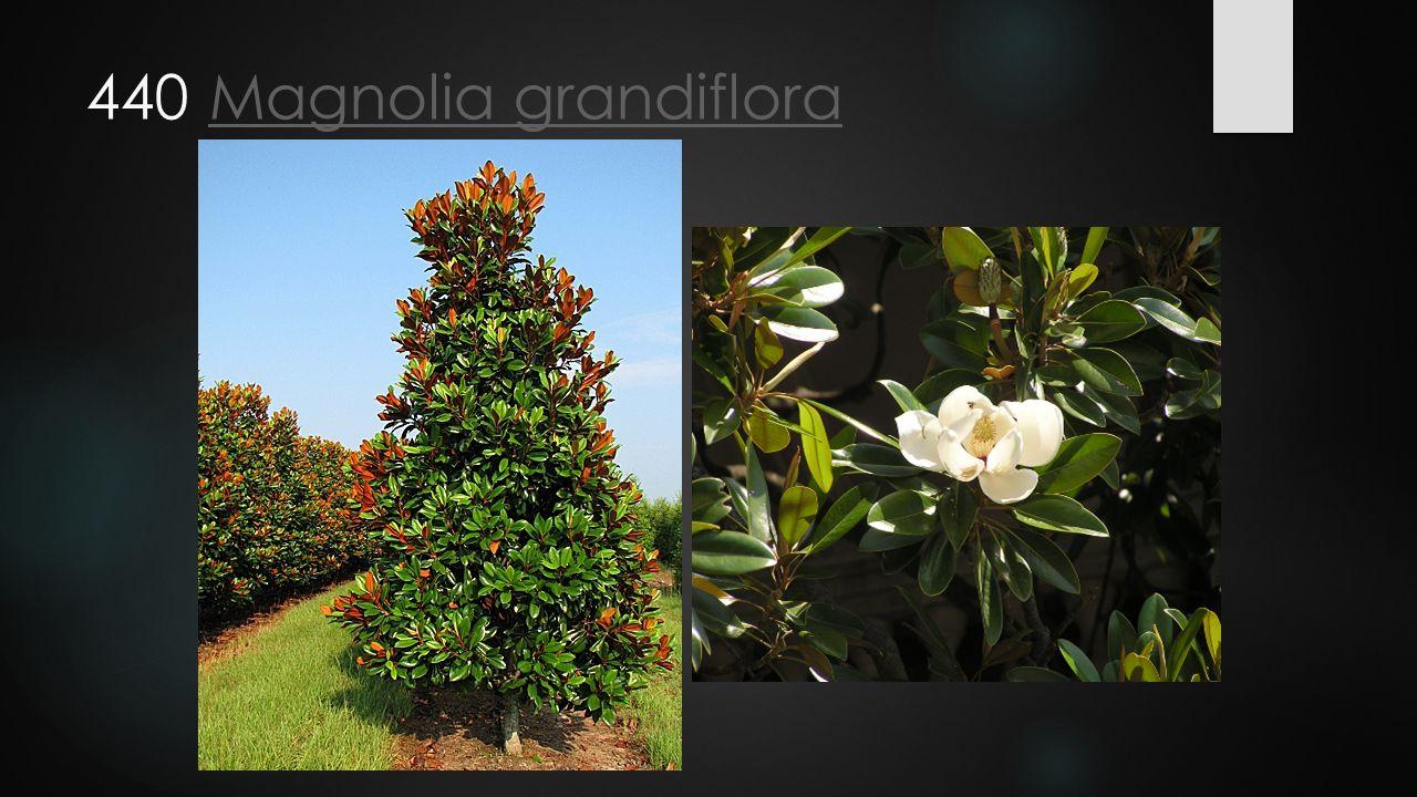 440 Magnolia grandifloraMagnolia grandiflora