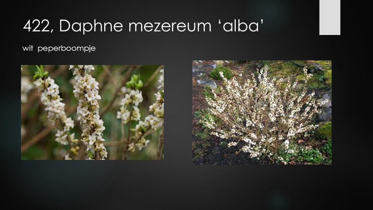 422, Daphne mezereum 'alba' wit peperboompje