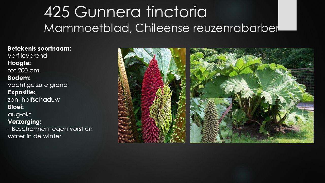 425 Gunnera tinctoria Mammoetblad, Chileense reuzenrabarber Betekenis soortnaam: verf leverend Hoogte: tot 200 cm Bodem: vochtige zure grond Expositie