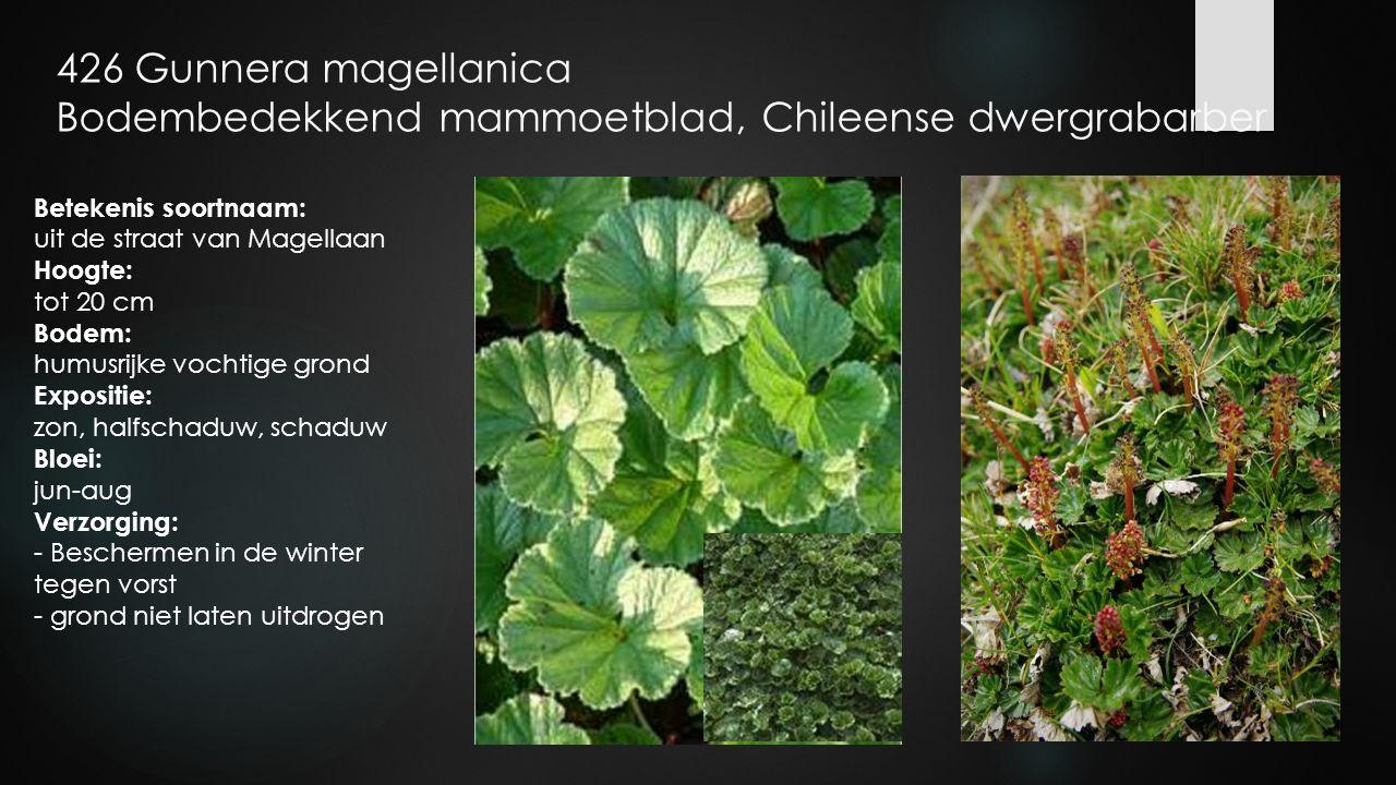 426 Gunnera magellanica Bodembedekkend mammoetblad, Chileense dwergrabarber Betekenis soortnaam: uit de straat van Magellaan Hoogte: tot 20 cm Bodem: