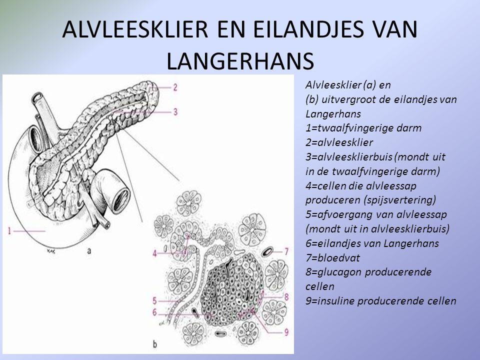 ALVLEESKLIER EN EILANDJES VAN LANGERHANS Alvleesklier (a) en (b) uitvergroot de eilandjes van Langerhans 1=twaalfvingerige darm 2=alvleesklier 3=alvle