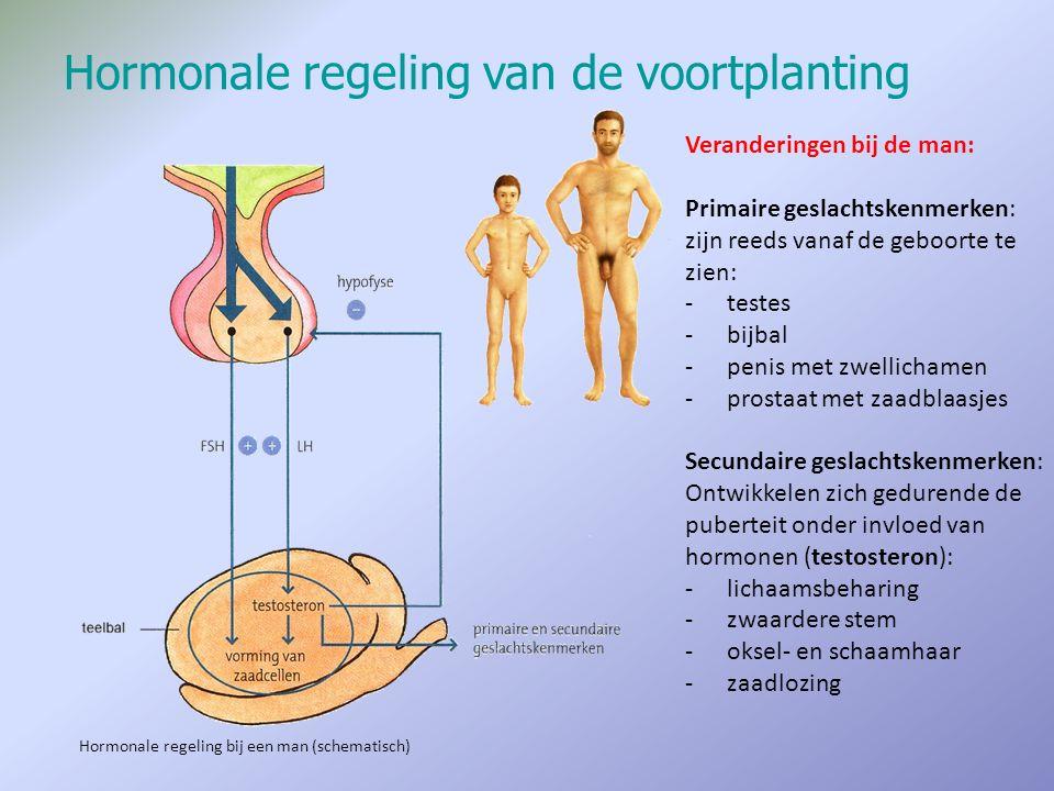 Hormonale regeling van de voortplanting Veranderingen bij de man: Primaire geslachtskenmerken: zijn reeds vanaf de geboorte te zien: -testes -bijbal -
