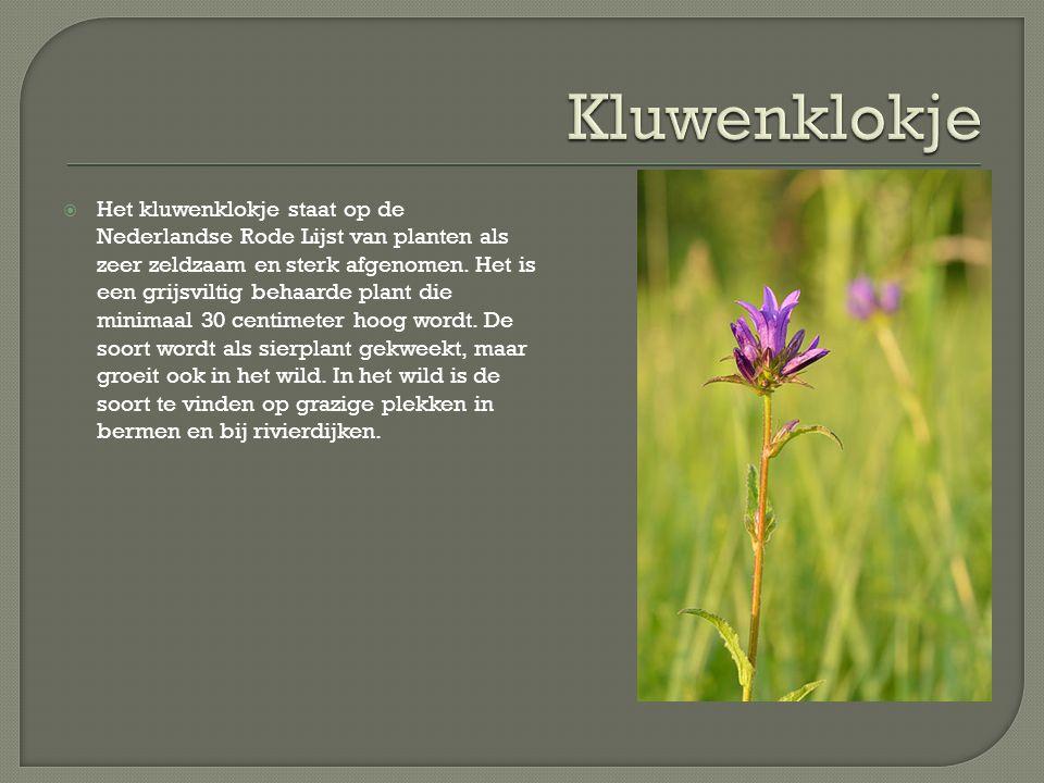  Het kluwenklokje staat op de Nederlandse Rode Lijst van planten als zeer zeldzaam en sterk afgenomen. Het is een grijsviltig behaarde plant die mini