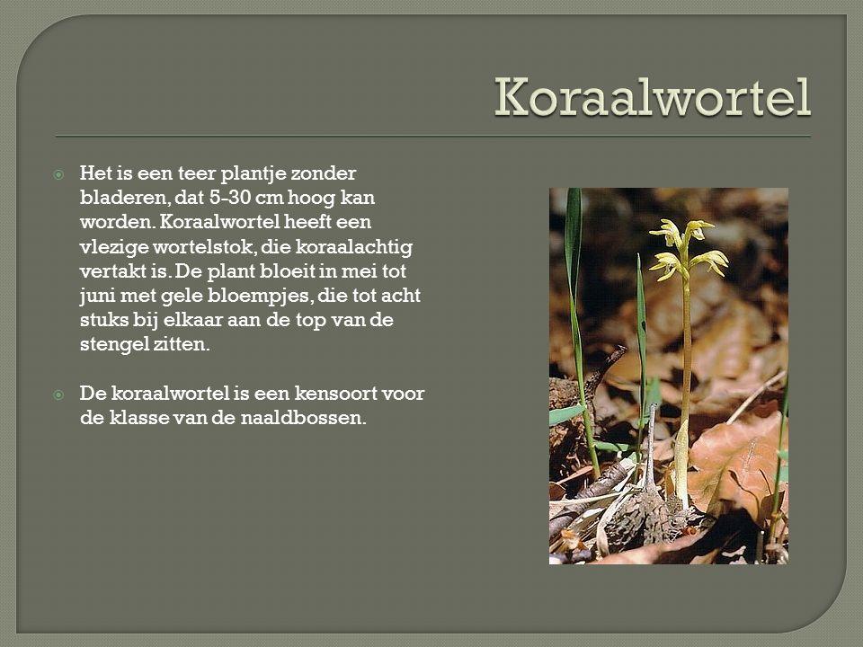  Het is een teer plantje zonder bladeren, dat 5-30 cm hoog kan worden.