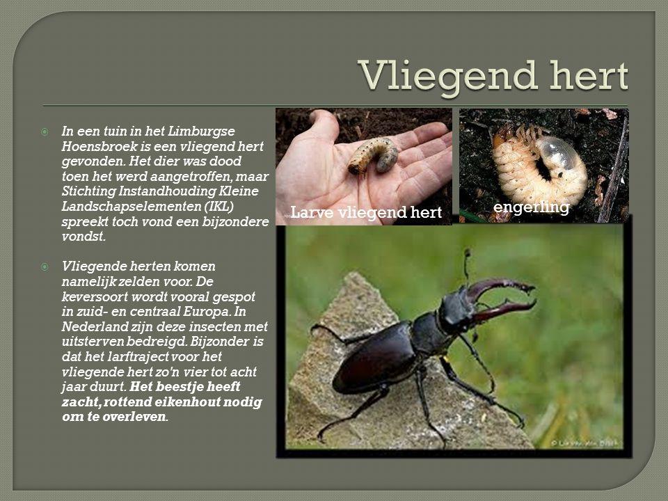  In een tuin in het Limburgse Hoensbroek is een vliegend hert gevonden.