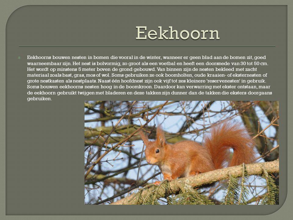  Eekhoorns bouwen nesten in bomen die vooral in de winter, wanneer er geen blad aan de bomen zit, goed waarneembaar zijn. Het nest is bolvormig, zo g