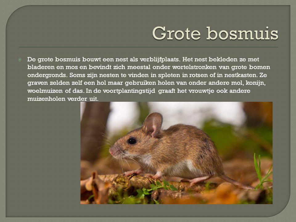  De grote bosmuis bouwt een nest als verblijfplaats. Het nest bekleden ze met bladeren en mos en bevindt zich meestal onder wortelstronken van grote