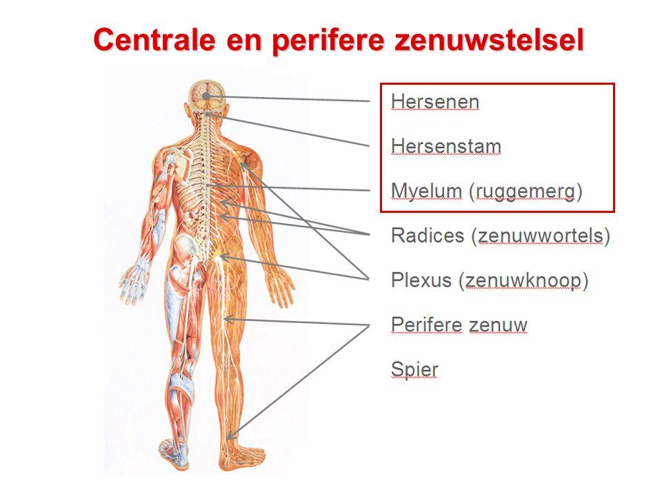 Hersenen: anatomie basics - Zicht bovenop de hersenen: - Linker hersenhelft / rechter hersenhelft