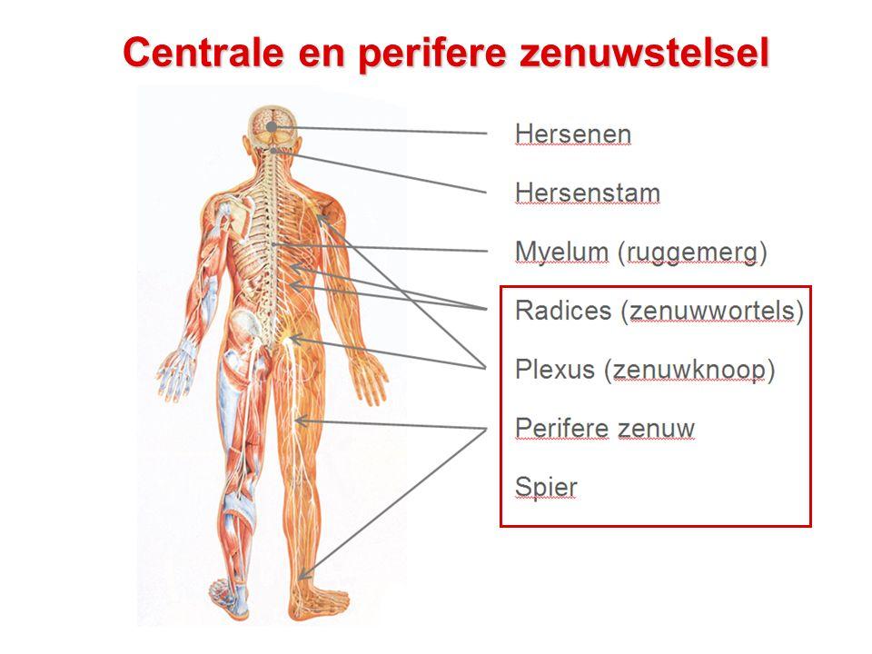 Hersenen: anatomie basics - Zicht bovenop de hersenen: - Linker hersenhelft / rechter hersenhelft - Linker hersenhelft stuurt rechter lichaamshelft aan en vice versa