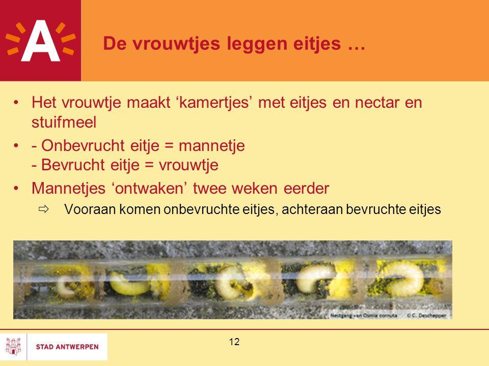 12 De vrouwtjes leggen eitjes … Het vrouwtje maakt 'kamertjes' met eitjes en nectar en stuifmeel - Onbevrucht eitje = mannetje - Bevrucht eitje = vrou