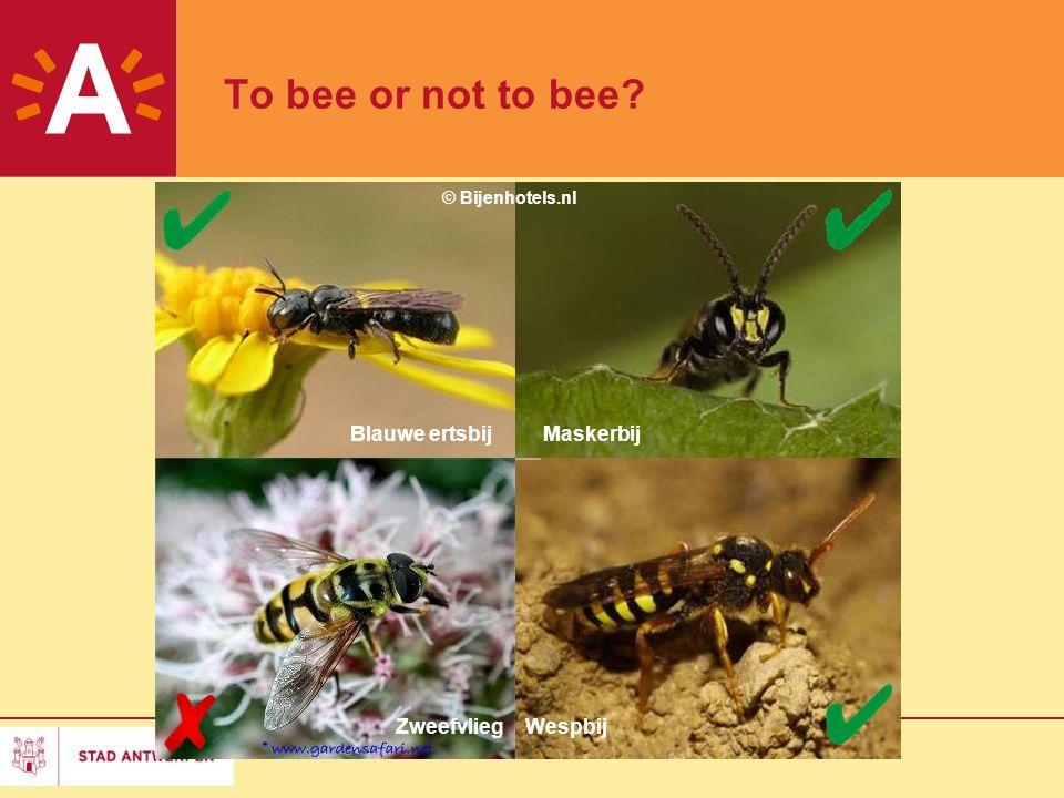 2 To bee or not to bee? Blauwe ertsbijMaskerbij WespbijZweefvlieg © Bijenhotels.nl