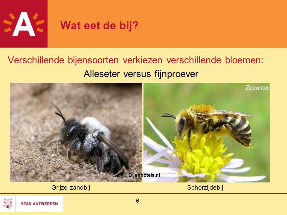 6 Wat eet de bij? Verschillende bijensoorten verkiezen verschillende bloemen: Alleseter versus fijnproever Grijze zandbijSchorzijdebij © Bijenhotels.n