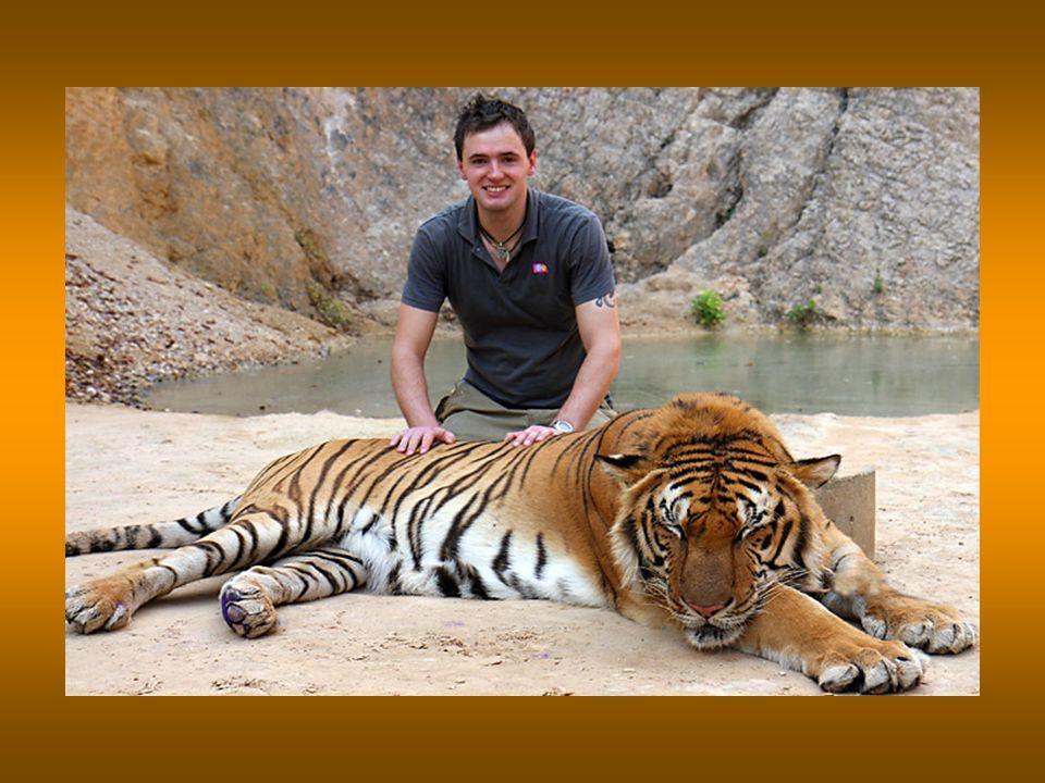 Dies ist der einzige Ort auf der Erde, wo es möglich ist einen Tiger in Freiheit zu berühren.