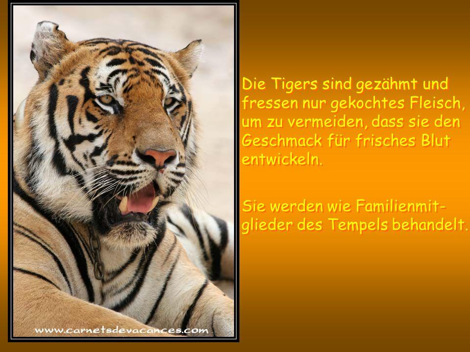 De tijgers zijn getemd en gewend om alleen gekookt vlees te eten om te vermijden dat ze de smaak voor vers bloed zouden ontwikkelen.