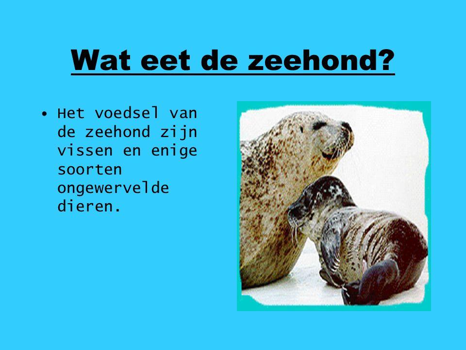 Wat eet de zeehond? Het voedsel van de zeehond zijn vissen en enige soorten ongewervelde dieren.