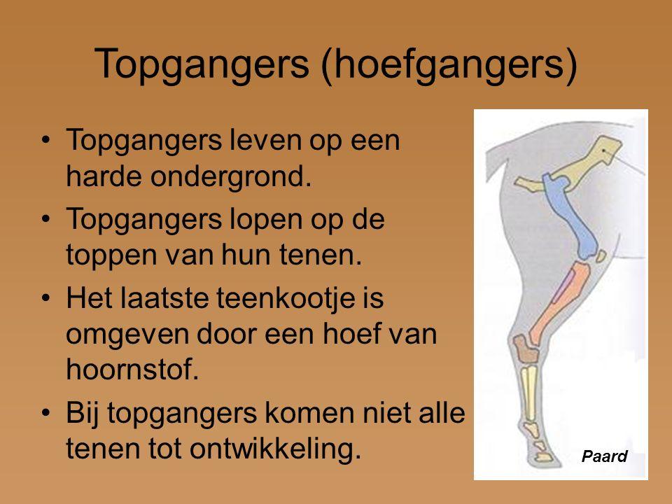 Topgangers (hoefgangers) Topgangers leven op een harde ondergrond. Topgangers lopen op de toppen van hun tenen. Het laatste teenkootje is omgeven door