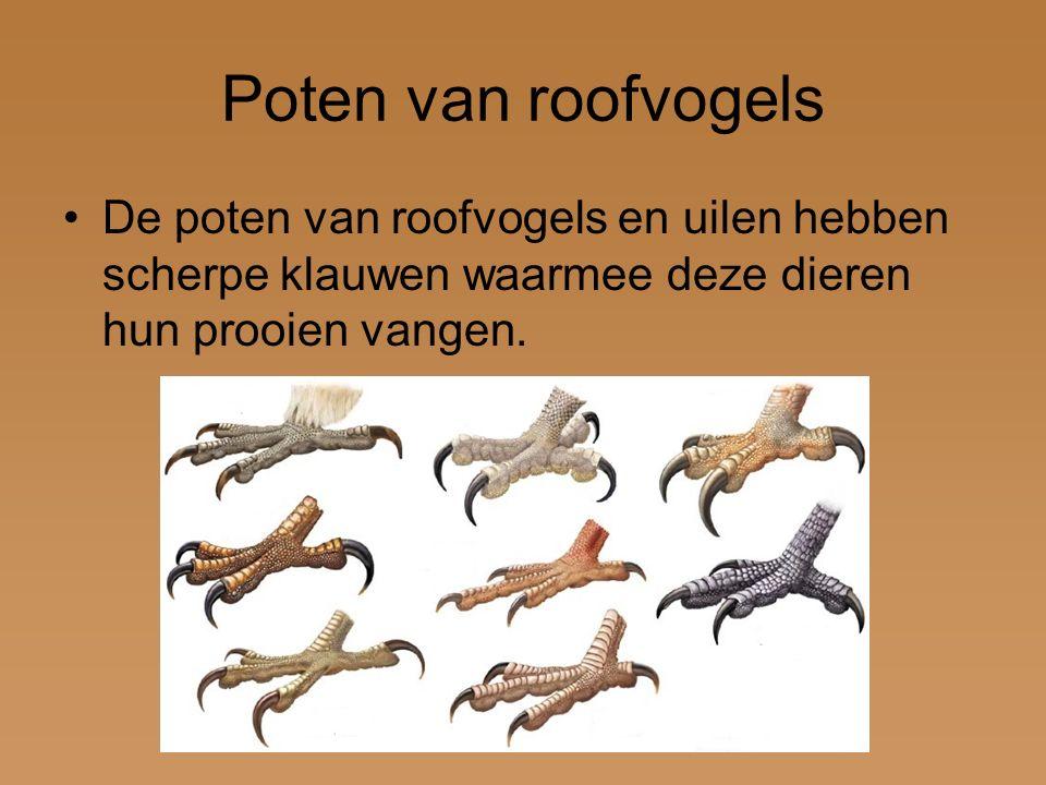 Poten van roofvogels De poten van roofvogels en uilen hebben scherpe klauwen waarmee deze dieren hun prooien vangen.