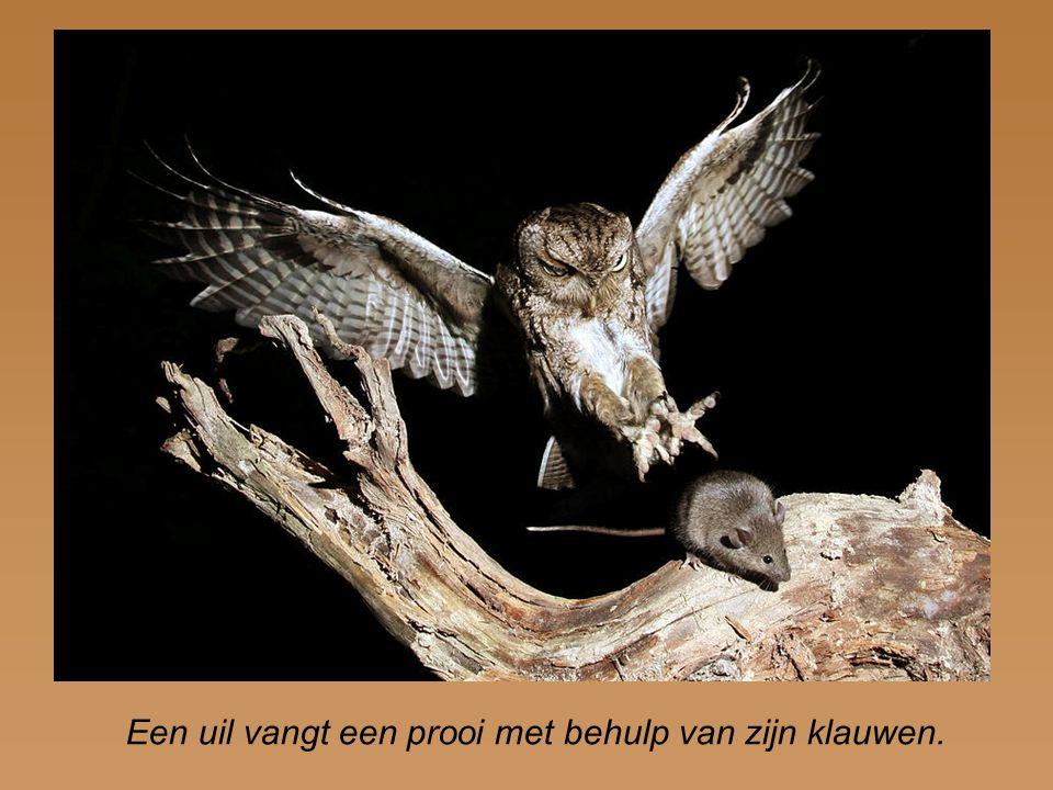 Een uil vangt een prooi met behulp van zijn klauwen.