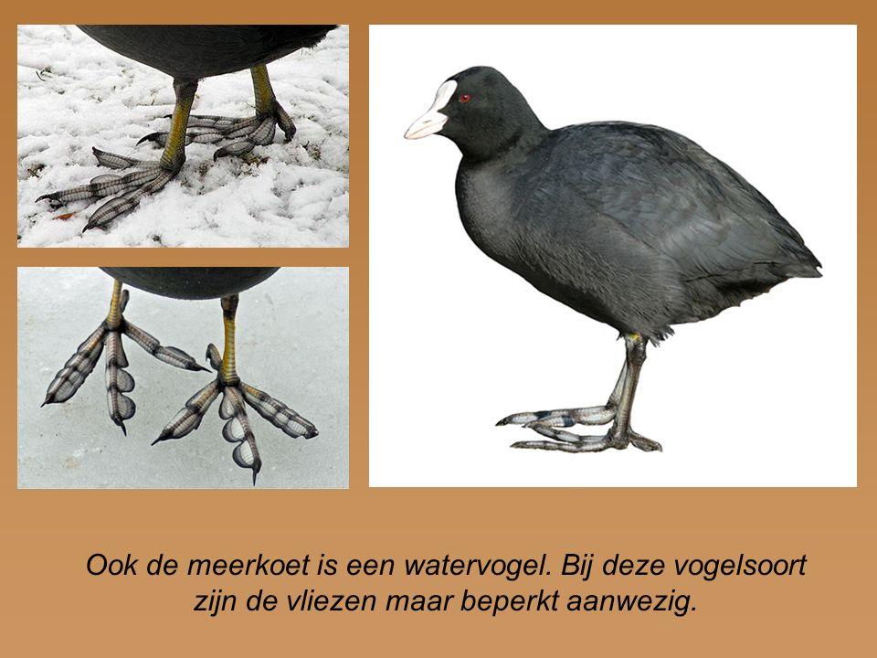 Ook de meerkoet is een watervogel. Bij deze vogelsoort zijn de vliezen maar beperkt aanwezig.