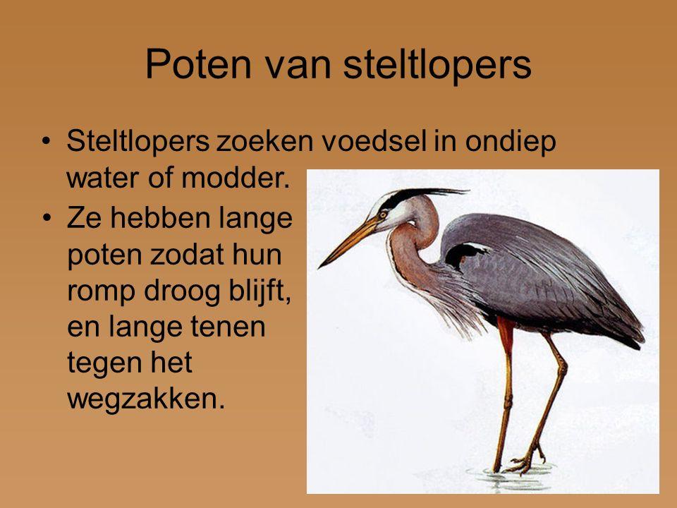 Poten van steltlopers Steltlopers zoeken voedsel in ondiep water of modder. Ze hebben lange poten zodat hun romp droog blijft, en lange tenen tegen he