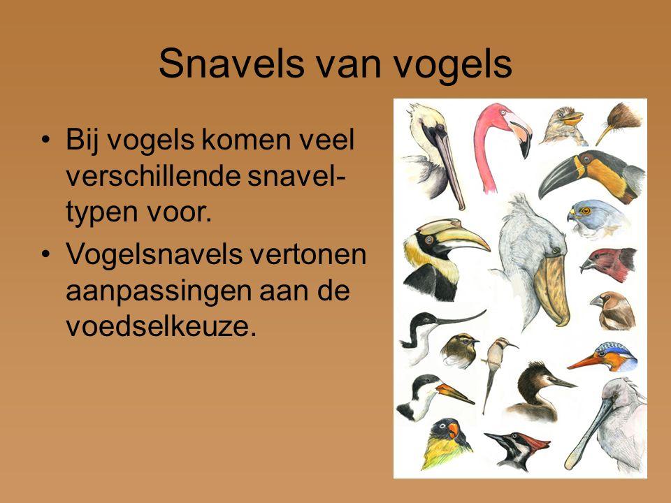 Snavels van vogels Bij vogels komen veel verschillende snavel- typen voor. Vogelsnavels vertonen aanpassingen aan de voedselkeuze.