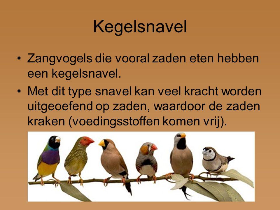 Kegelsnavel Zangvogels die vooral zaden eten hebben een kegelsnavel. Met dit type snavel kan veel kracht worden uitgeoefend op zaden, waardoor de zade