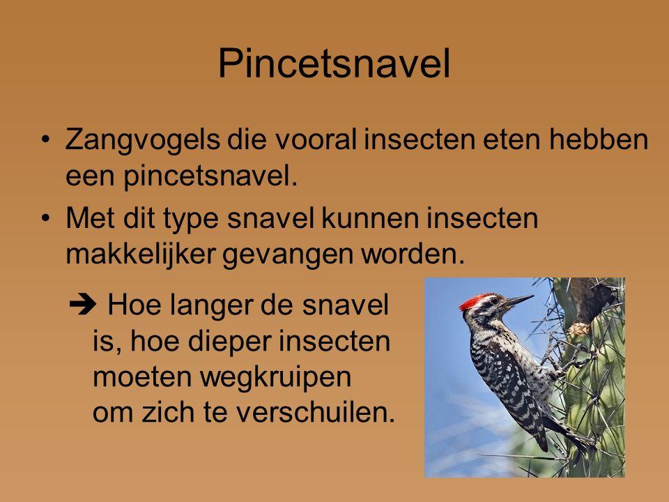 Pincetsnavel Zangvogels die vooral insecten eten hebben een pincetsnavel. Met dit type snavel kunnen insecten makkelijker gevangen worden.  Hoe lange