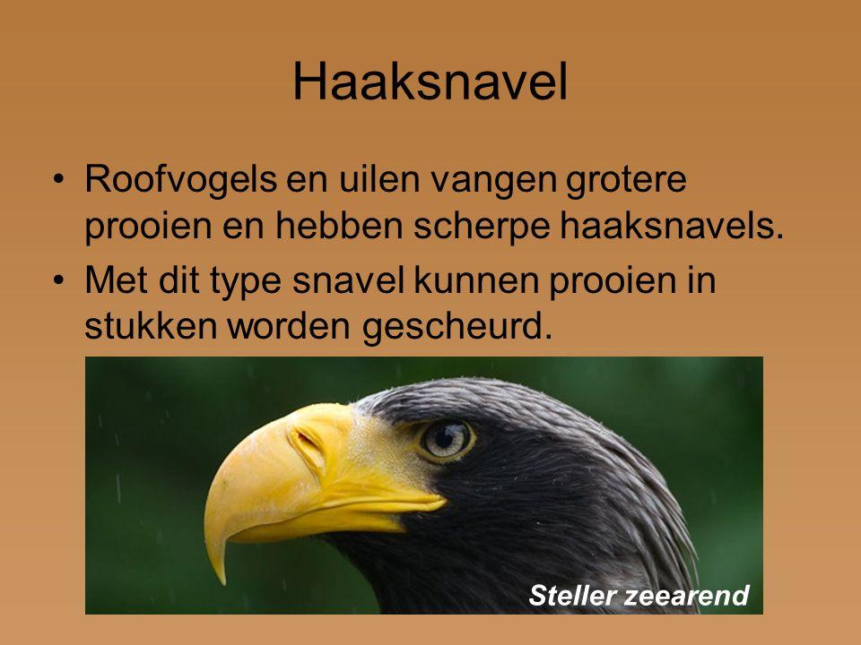 Haaksnavel Roofvogels en uilen vangen grotere prooien en hebben scherpe haaksnavels. Met dit type snavel kunnen prooien in stukken worden gescheurd. S