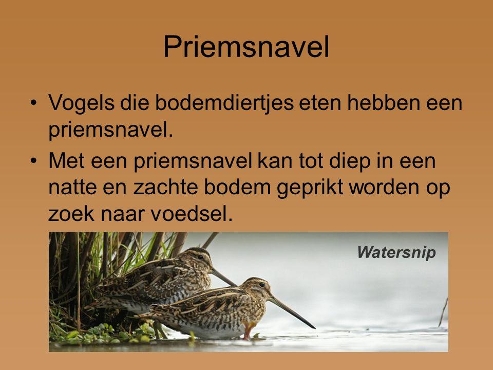 Priemsnavel Vogels die bodemdiertjes eten hebben een priemsnavel. Met een priemsnavel kan tot diep in een natte en zachte bodem geprikt worden op zoek