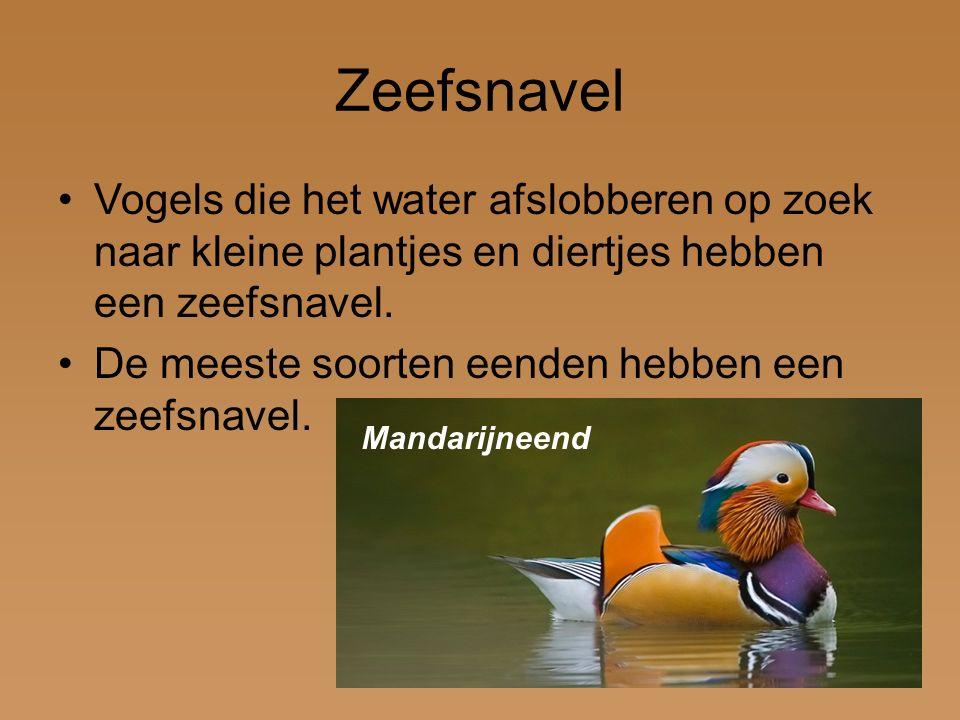 Zeefsnavel Vogels die het water afslobberen op zoek naar kleine plantjes en diertjes hebben een zeefsnavel. De meeste soorten eenden hebben een zeefsn