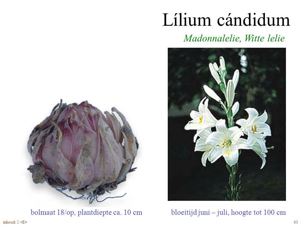 Lílium cándidum bloeitijd juni – juli, hoogte tot 100 cm Madonnalelie, Witte lelie bolmaat 18/op, plantdiepte ca. 10 cm inhoud: 2 63