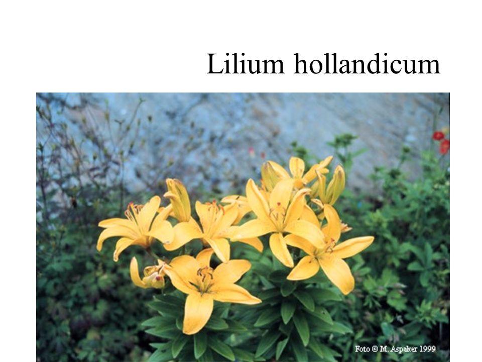 Lilium hollandicum