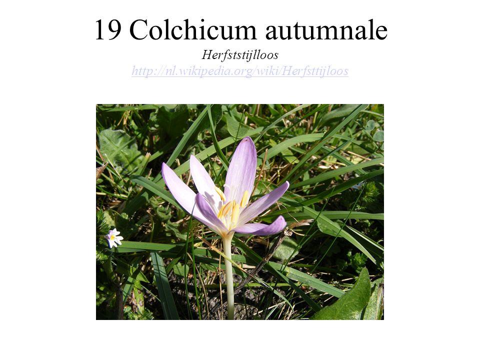 19 Colchicum autumnale Herfststijlloos http://nl.wikipedia.org/wiki/Herfsttijloos http://nl.wikipedia.org/wiki/Herfsttijloos