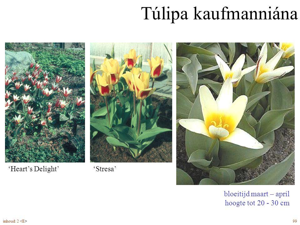 Túlipa kaufmanniána bloeitijd maart – april hoogte tot 20 - 30 cm bolmaat 11/12 plantdiepte ca. 8 cm 'Stresa''Heart's Delight' inhoud: 2 99