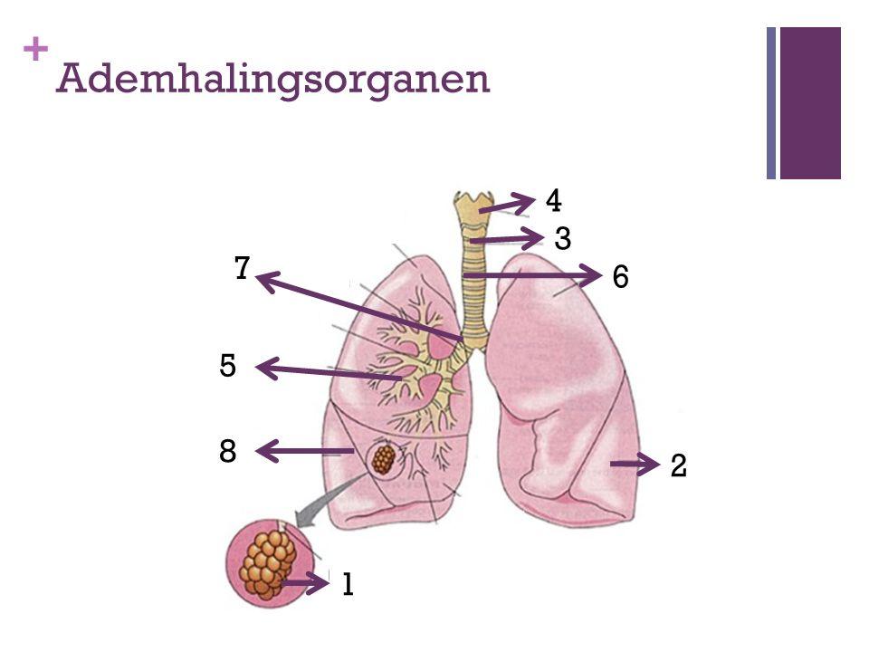 + Ademhalingsorganen 1 8 5 7 4 3 2 6