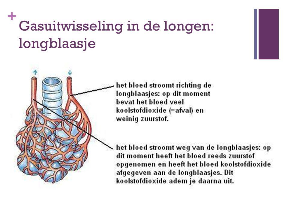 + Gasuitwisseling in de longen: longblaasje