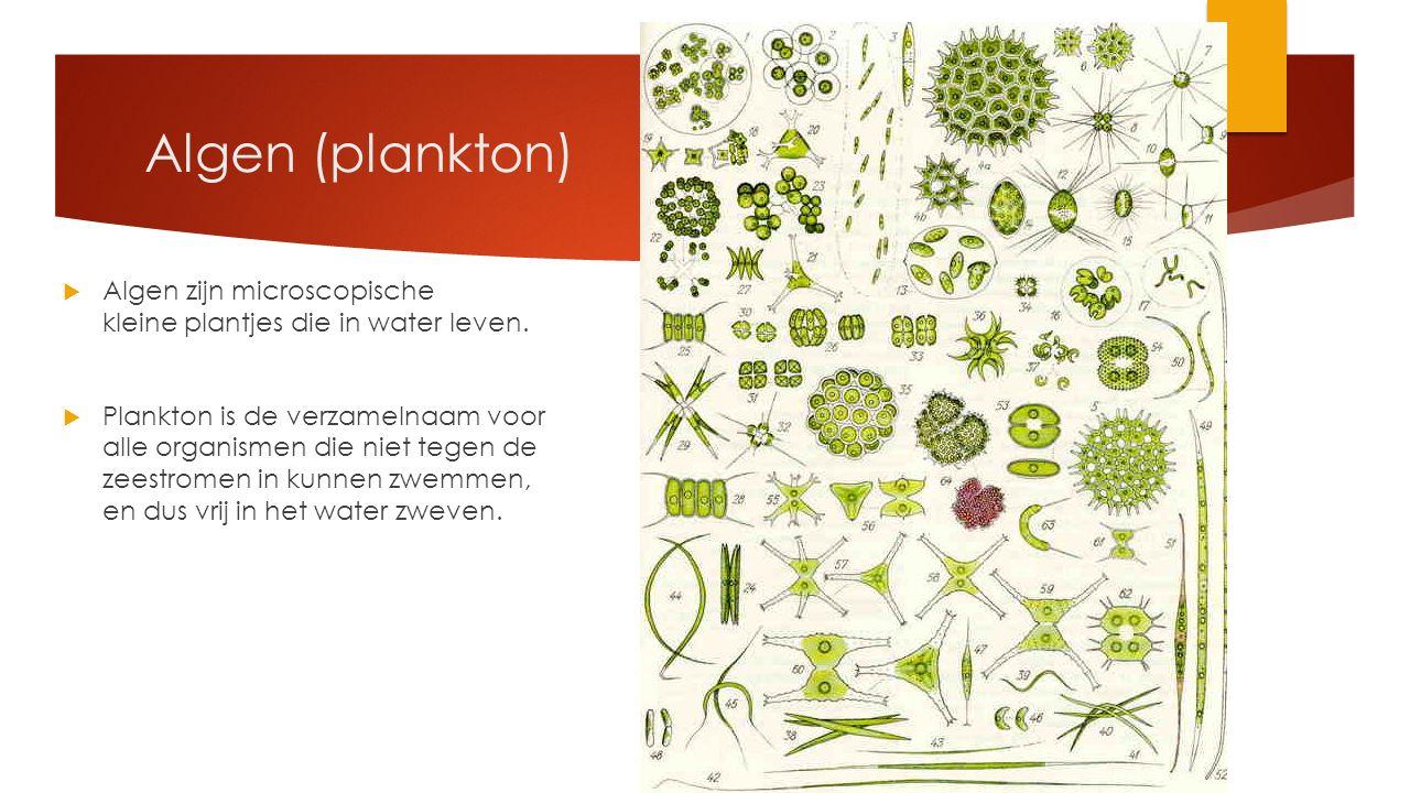 Algen (plankton)  Algen zijn microscopische kleine plantjes die in water leven.  Plankton is de verzamelnaam voor alle organismen die niet tegen de