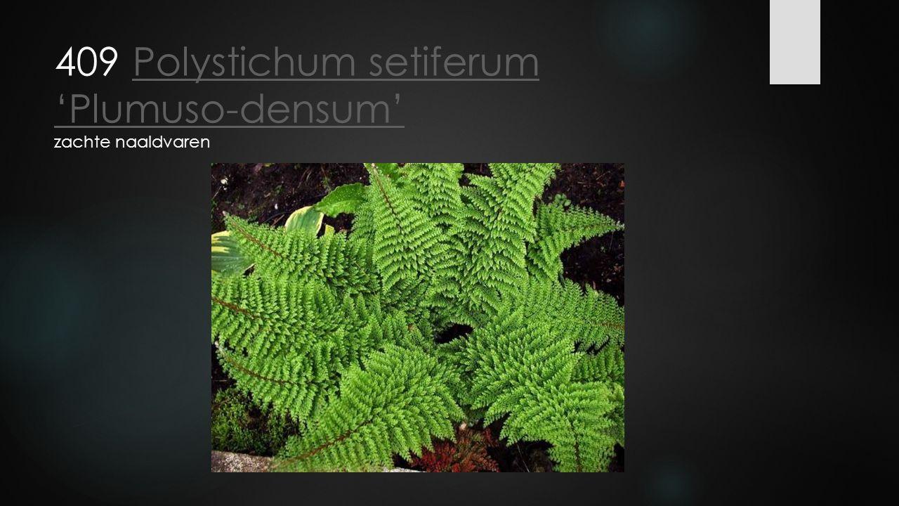 409 Polystichum setiferum 'Plumuso-densum' zachte naaldvarenPolystichum setiferum 'Plumuso-densum'